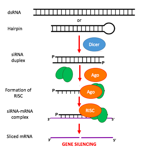 siRNA-applications